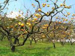 新治村の柿畑