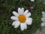 菊門の花 (笑)