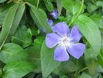 無量寺の参道に咲いていた青い花