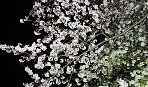 近所の公園の夜桜