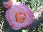 公園で咲いてたバラ