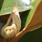 タイサンボクの葉