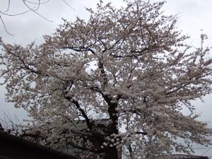 散歩道に咲いたソメイヨシノ