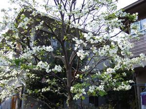 散歩道に咲いた白いはなみずきの花