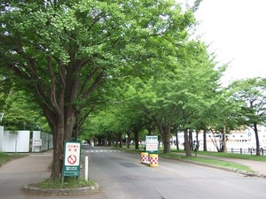 北大病院横の銀杏並木