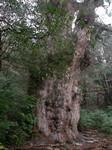 風格あふれる縄文杉