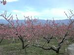 南アルプスをバックに満開の桃の花