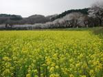 巾着田の桜と菜の花畑