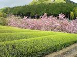 茶畑の向こうでは桜が、、、。