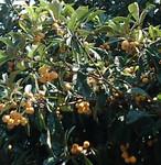 実家の枇杷の木