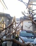 実家・祖父宅の木蓮。春に向けて蕾が。