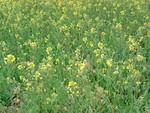 荒川沿いの土手にて、菜の花