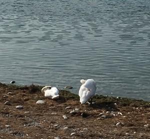 ライン川で羽を休める白鳥
