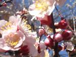 梅の花接写