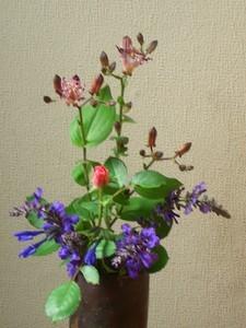 [花]ほととぎすとバラ