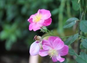 [花]ラベンダードリーム