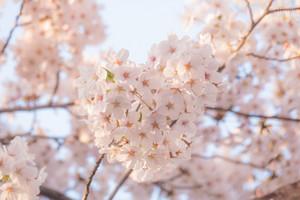 ハートの桜