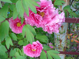 rosa412004-04-18