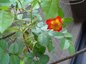 rosa412005-05-12