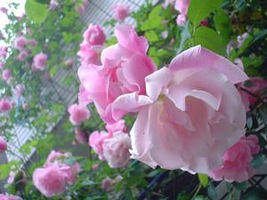 rosa412006-08-04