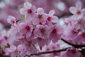桜 (新宿御苑)