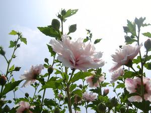 ムクゲの花(八重咲き)