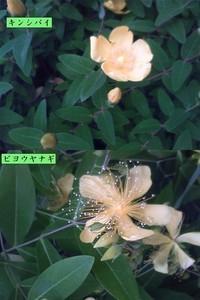 同じような黄色い花