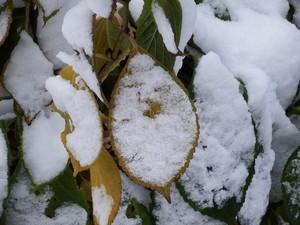 小樽の庭額紫陽花の葉:2014年11月14日
