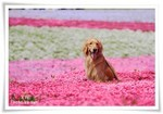 2014.04.27芝桜