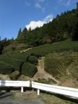 茶畑は静岡ならでは