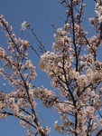 桜はどこも綺麗でした