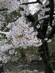 長野・辰野の桜