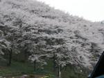 桜の咲いた山