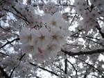 今年の桜も綺麗に咲きました