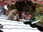 毛づくろいする猿と紅葉