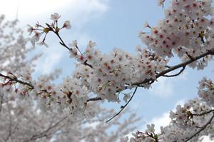 桜満開2010