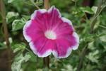 「アサガオ」の花(20.7.28)