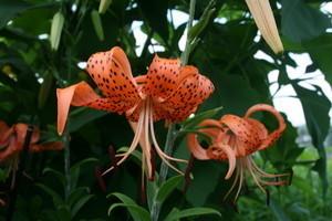 「オニユリ(鬼百合)」の花