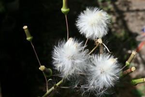 「ダンドボロギク(段戸襤褸菊)」の冠