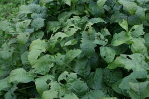 蝗に食われた「豆の葉」