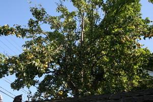 屋敷内の立つ「梨の大樹」