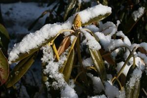 「シャクナゲ」に積もった雪(21.2