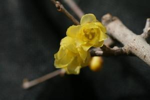 「マンゲツ(満月)ロウバイ」の花(2