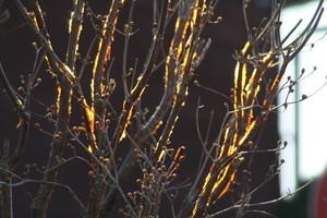 黄金色に輝く「サンシュユ」の枝(21