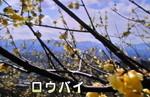 「宝登山」の「ロウバイ(臘・蝋)梅(2
