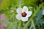 咲き始めた「ギンセンカ(銀銭花)」(2