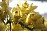 「シンビジューム・ピュアムーン」の花