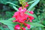 誕生日の花、「ホウセンカ(鳳仙花)」