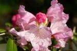 「アズマシャクナゲ」の花。(27.4.26)