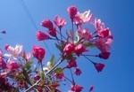 青空に映える「花海棠」の花。(27.4.27